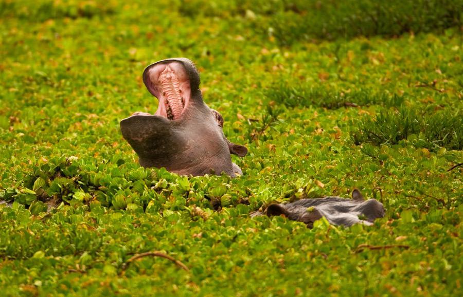 фото бегемота